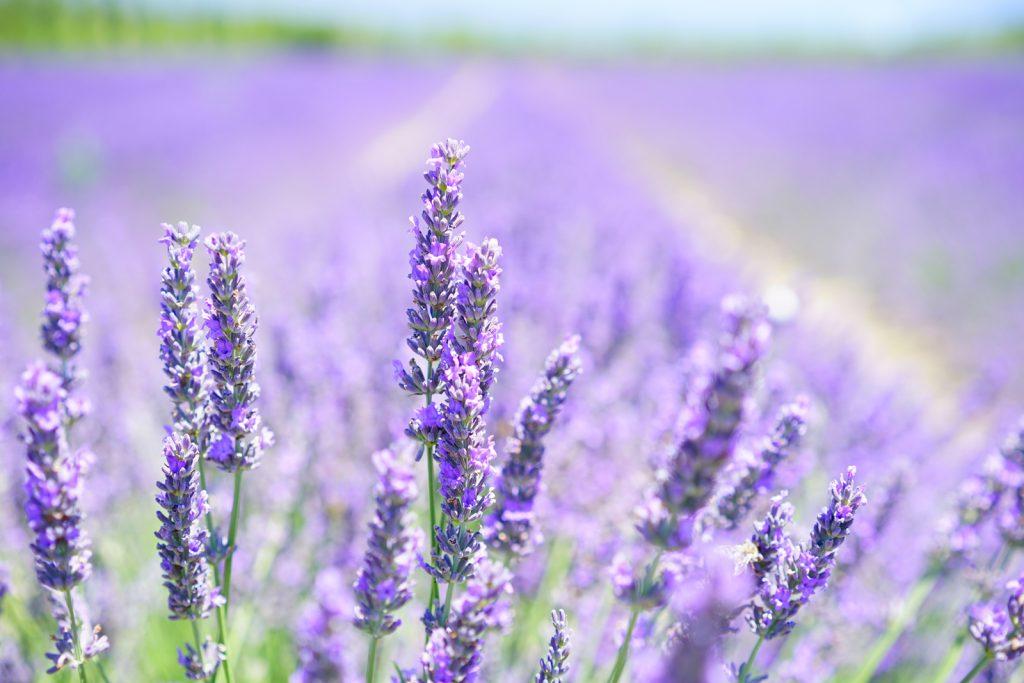 lavender-blossom_1600x1067